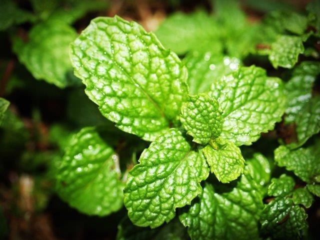 Menthol or mint leaves
